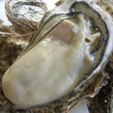 画像2: 三陸赤崎産 殻付熟成牡蠣 (2)