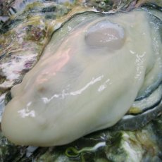 画像4: 三陸赤崎産 殻付熟成牡蠣 (4)