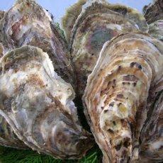 画像8: 北海道厚岸産 丸牡蠣まるえもん (8)