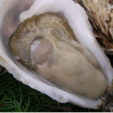 画像6: 北海道厚岸産 丸牡蠣まるえもん (6)