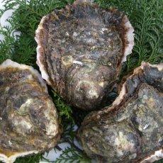画像4: 熊本天草産 天領岩牡蠣 (4)