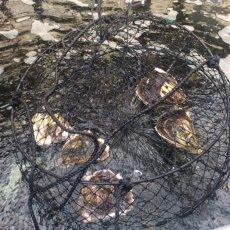 画像5: 熊本天草産 天領岩牡蠣 (5)