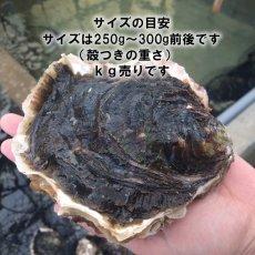 画像3: 熊本天草産 天領岩牡蠣 (3)