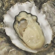 画像2: 北米バロンポイント 殻付牡蠣 (2)