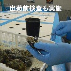 画像8: アイリッシュプレミアム殻付牡蠣 (8)