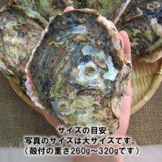 画像4: 秋田八森産 天然岩牡蠣 (4)