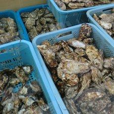 画像10: 三陸広田湾産 殻付牡蠣 (10)