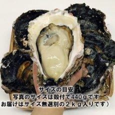 画像2: 三陸広田湾産 岩牡蠣 (2)
