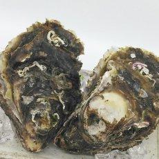 画像4: 三陸広田湾産 岩牡蠣 (4)