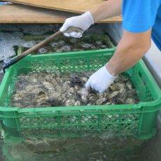 画像7: 福岡糸島産 みるく牡蠣 (7)
