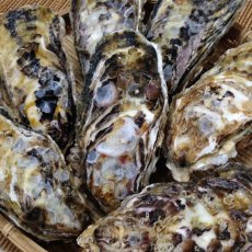 画像11: 【お急ぎ便】福岡糸島産 みるく牡蠣 (お届け地域限定) (11)