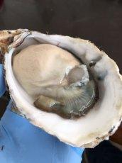 画像3: 福岡糸島産 真牡蠣と岩牡蠣のお得セット (3)
