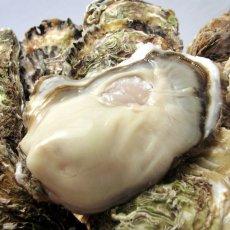 画像3: 三陸唐桑産 もまれ牡蠣 (3)
