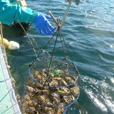 画像7: 【お急ぎ便】三陸唐桑産 もまれ牡蠣 (お届け地域限定) (7)