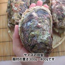 画像5: 秋田象潟産 天然岩牡蠣 (5)