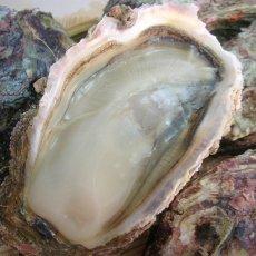 画像4: 秋田象潟産 天然岩牡蠣 (4)