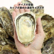 画像2: 長崎小長井産 殻付牡蠣 (2)