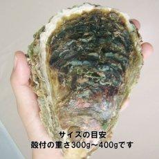 画像3: 秋田由利海岸金浦産 天然岩牡蠣 (3)