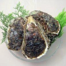 画像4: 秋田由利海岸金浦産 天然岩牡蠣 (4)