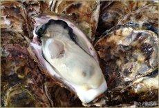 画像1: 広島県玖波産 殻付牡蠣 (1)