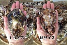画像2: 広島県玖波産 殻付牡蠣 (2)