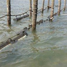 画像9: 大分国東産 殻付牡蠣 (9)