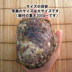 画像2: 京都舞鶴産 天然岩牡蠣 (2)
