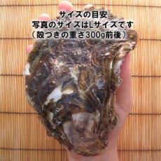 画像4: 三重的矢湾三ヶ所産 岩牡蠣 (4)