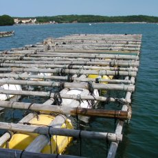 画像6: 三重的矢湾三ヶ所産 岩牡蠣 (6)