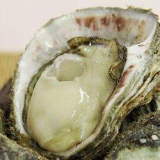 画像3: 石川能登産 天然岩牡蠣 (3)