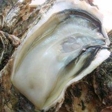 画像2: 石川能登産 天然岩牡蠣 (2)