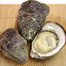 画像4: 福井小浜産 天然岩牡蠣 (4)