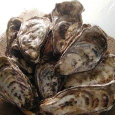 画像2: 北海道温根沼産 殻付牡蠣 (2)