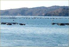 画像2: 三陸牡鹿半島産 むき身牡蠣 (2)