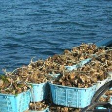 画像3: 三陸牡鹿半島産 ふぞろい牡蠣 (3)