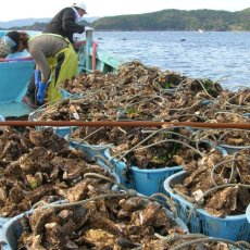 画像4: 三陸牡鹿半島産 ふぞろい牡蠣 (4)