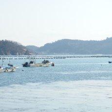 画像5: 三陸牡鹿半島産 ふぞろい牡蠣 (5)