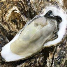 画像3: 三陸牡鹿半島産 殻付牡蠣 (3)