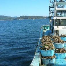 画像8: 三陸牡鹿半島産 殻付牡蠣 (8)