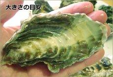 画像4: 北海道サロマ湖産 生食用牡蠣(むき身/殻付) (4)