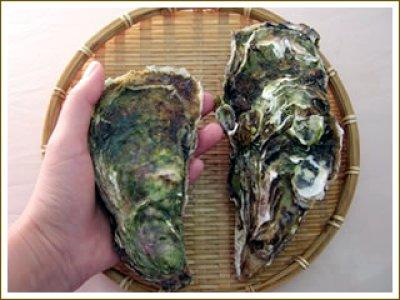 画像3: 北海道仙鳳趾産 殻付牡蠣