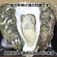 画像7: 北海道仙鳳趾産 殻付牡蠣 (7)