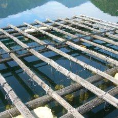画像9: 三重白石湖産 牡蠣 渡利かき (9)