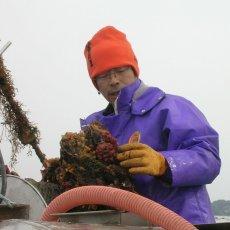 画像10: 三陸志津川産 荒島牡蠣 (10)