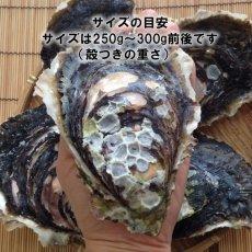 画像6: 鹿児島諸浦島産 天海岩牡蠣 (6)
