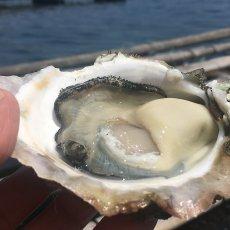 画像2: 鹿児島諸浦島産 天海岩牡蠣 (2)