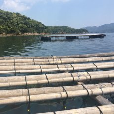 画像8: 鹿児島諸浦島産 天海岩牡蠣 (8)