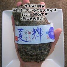 画像3: 鳥取産 天然岩牡蠣「夏輝」 (3)