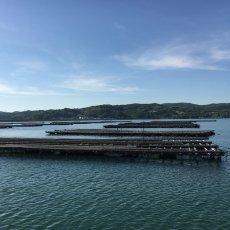 画像7: 岡山牛窓産 むき身牡蠣 (7)