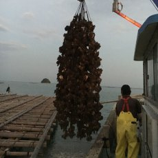 画像6: 岡山牛窓産 むき身牡蠣 (6)